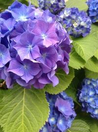 紫陽花001.jpg